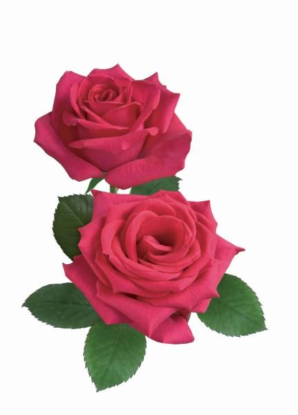 Duft Rose