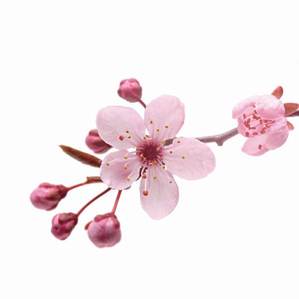 Duft Kirschblüte