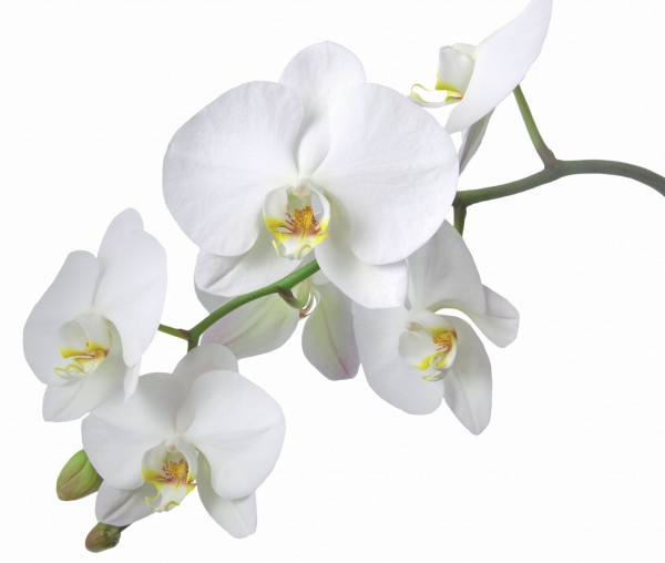 Duft Orchidee